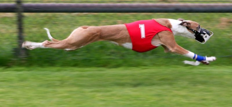 Greyhound Racing Ban Heads To Voters