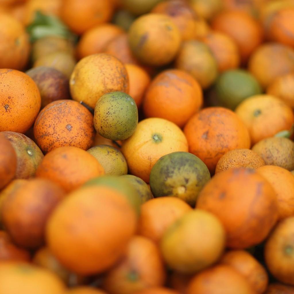 citrus-greening-2-1024x1024.jpg
