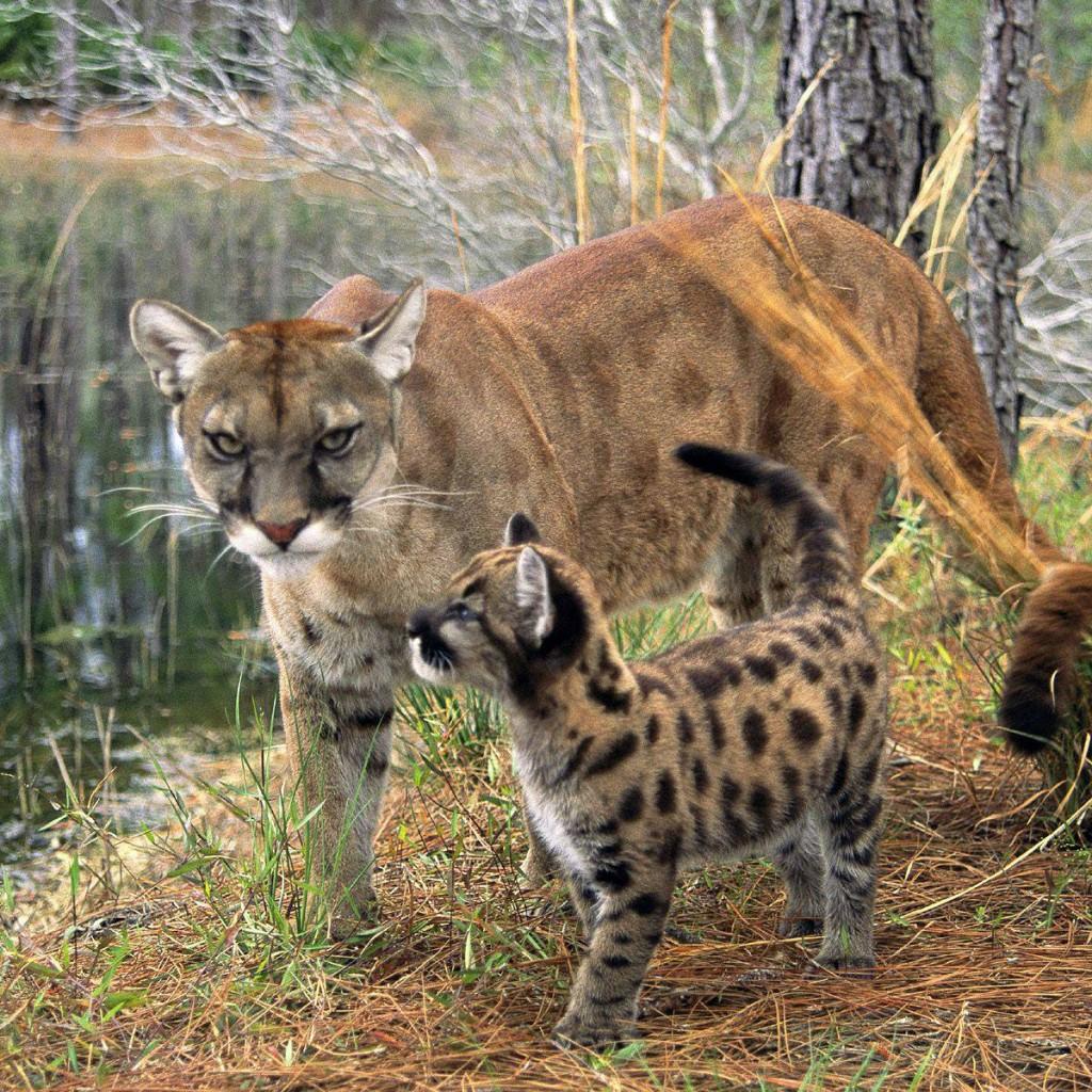 florida-panther-1024x1024.jpg
