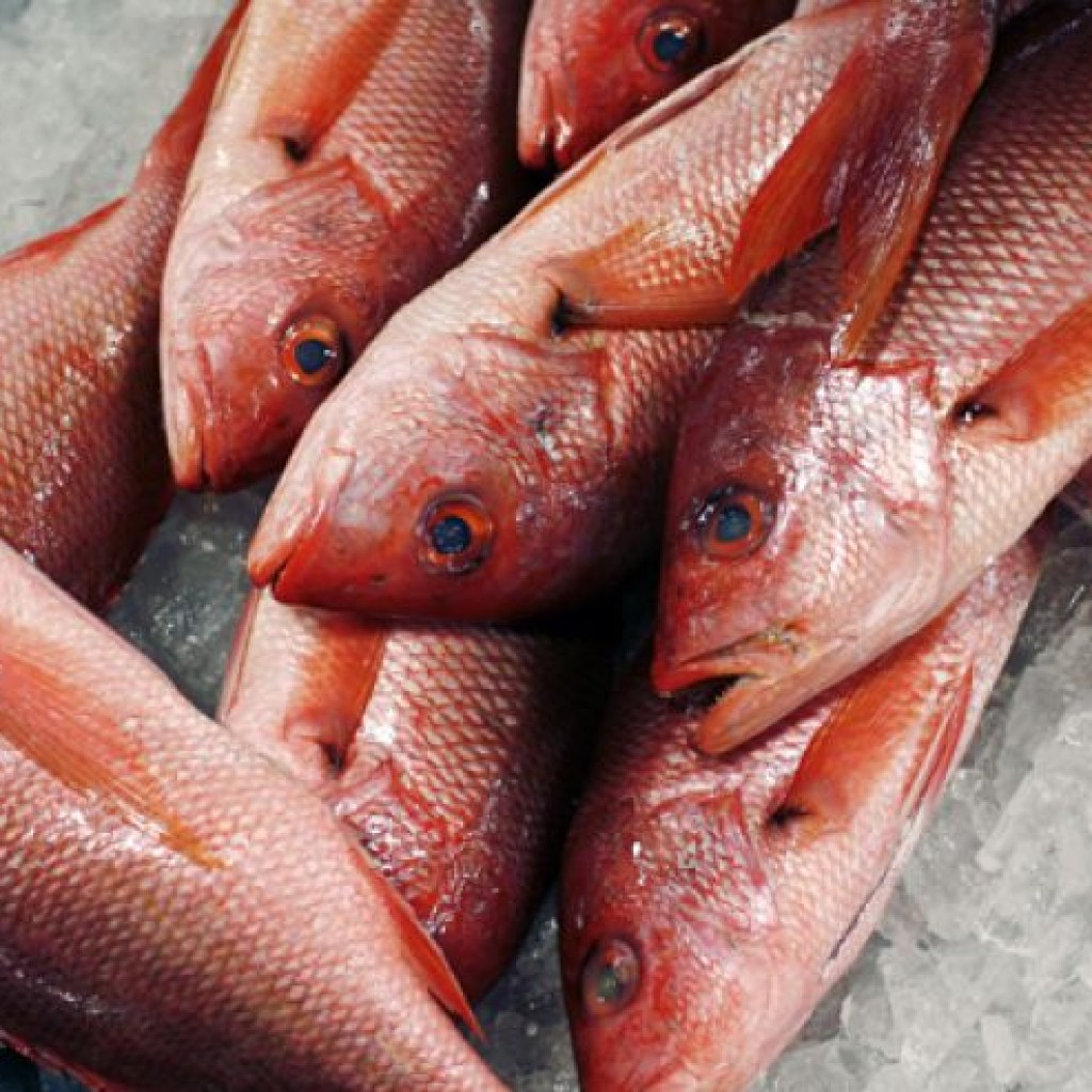 Red-snappers-1024x1024.jpg