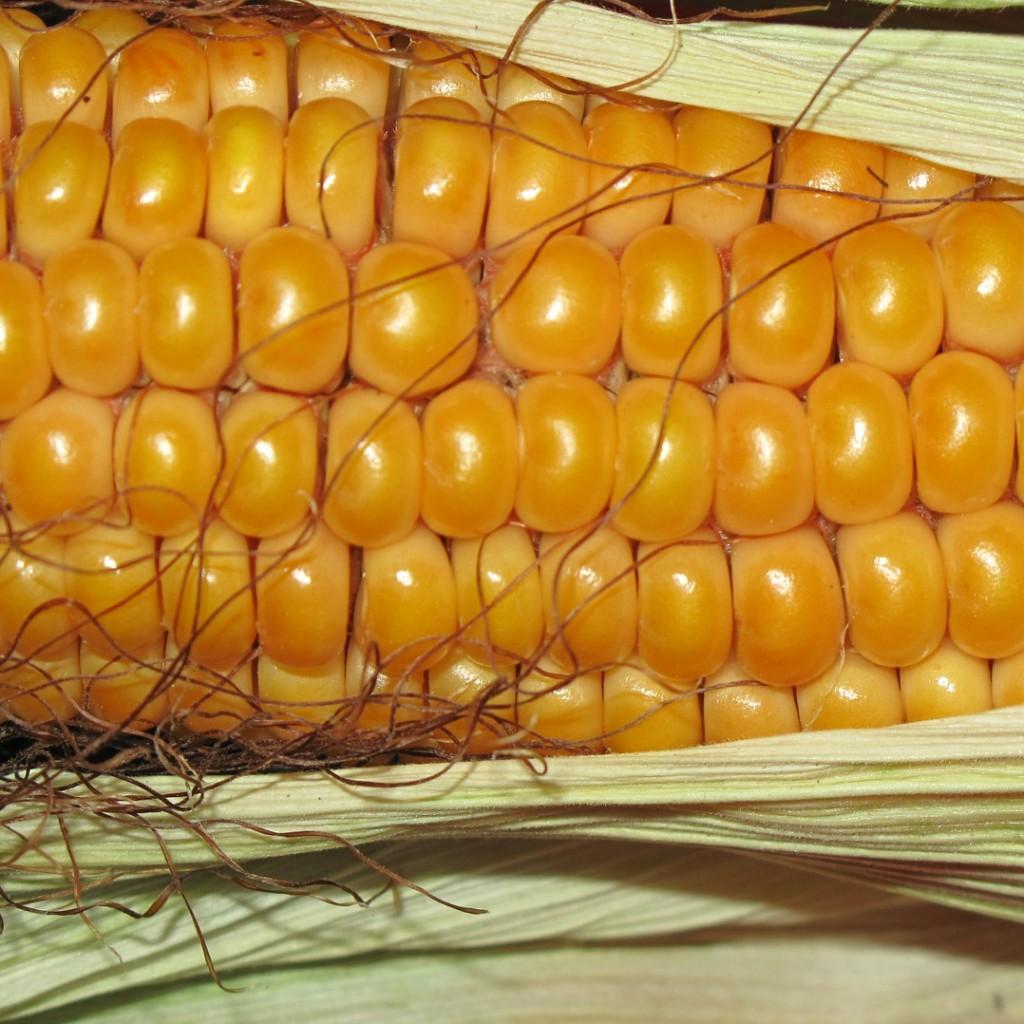 corn-190014_1920-1024x1024.jpg