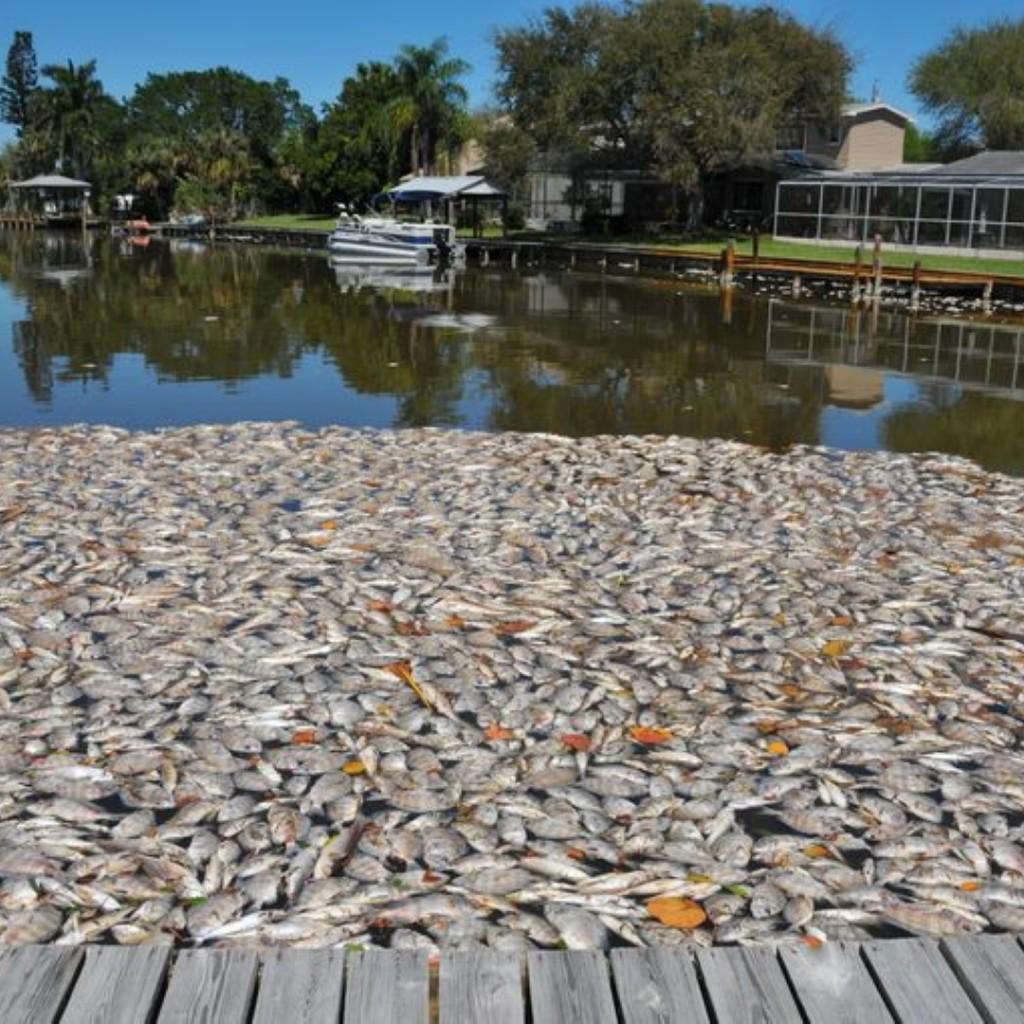 Indian-River-Lagoon-fish-kill-Large-1024x1024.jpg