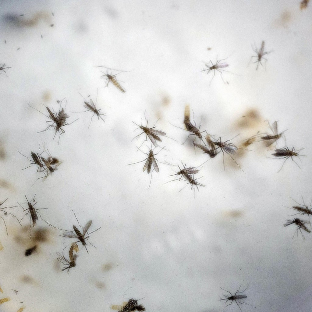 Zika Mosquitoes