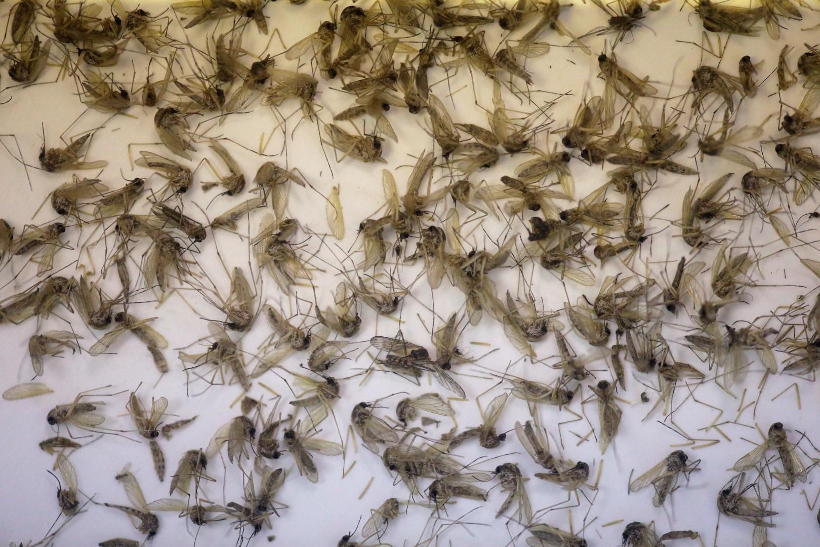 zika-mosquitos-Large.jpg