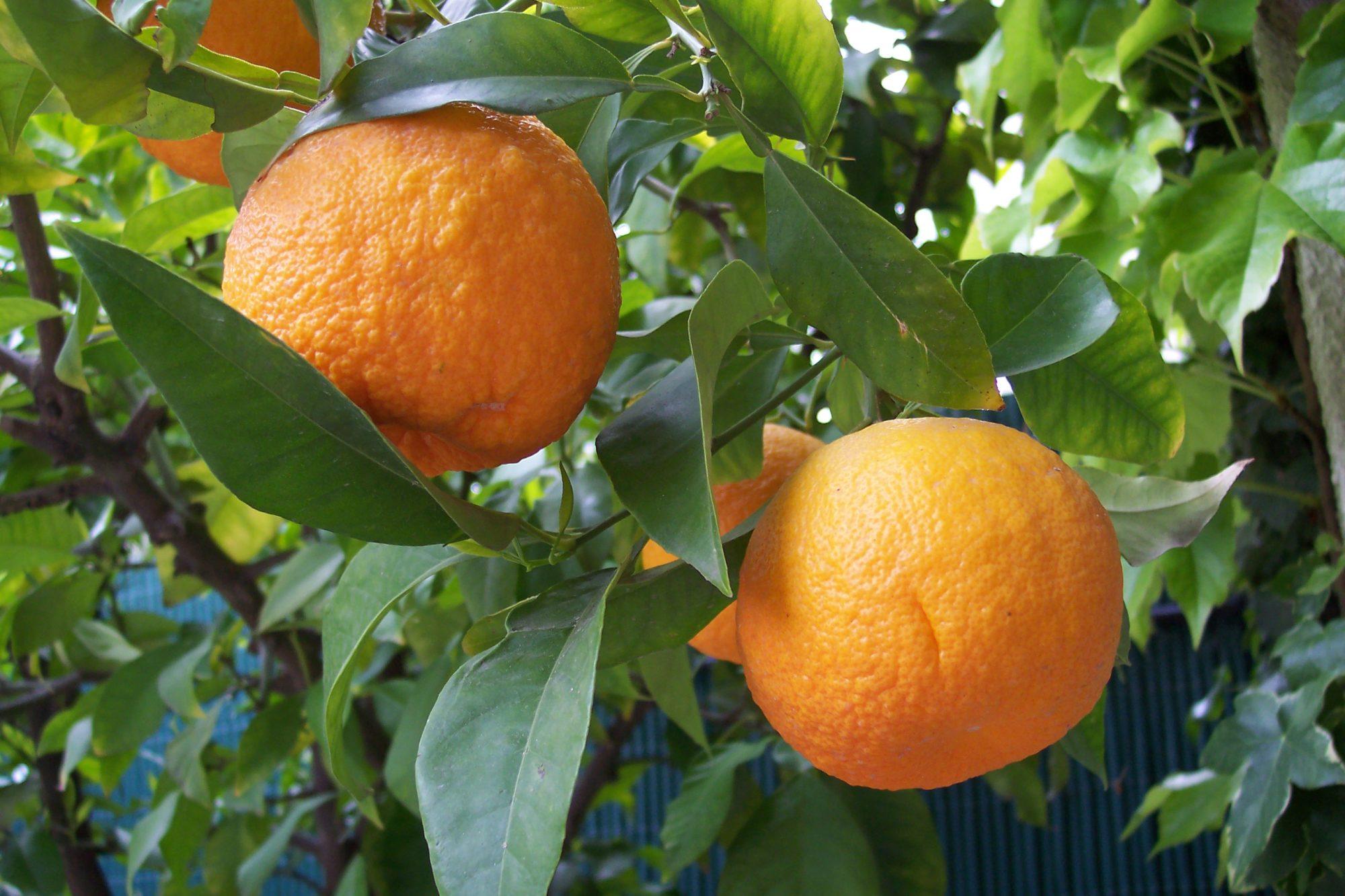 citrus_aurantium-wiki-e1523387743346.jpg