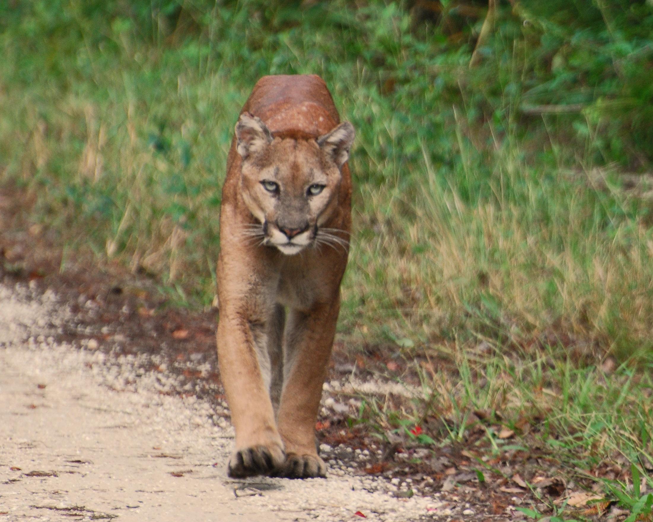 florida-panther-01.05.jpg