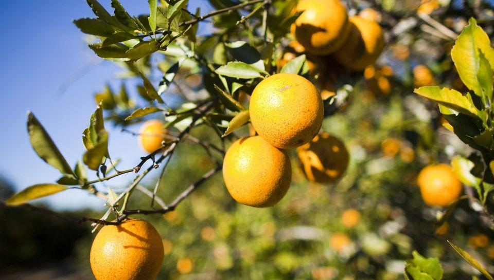 Orange-tree-Florida.jpeg