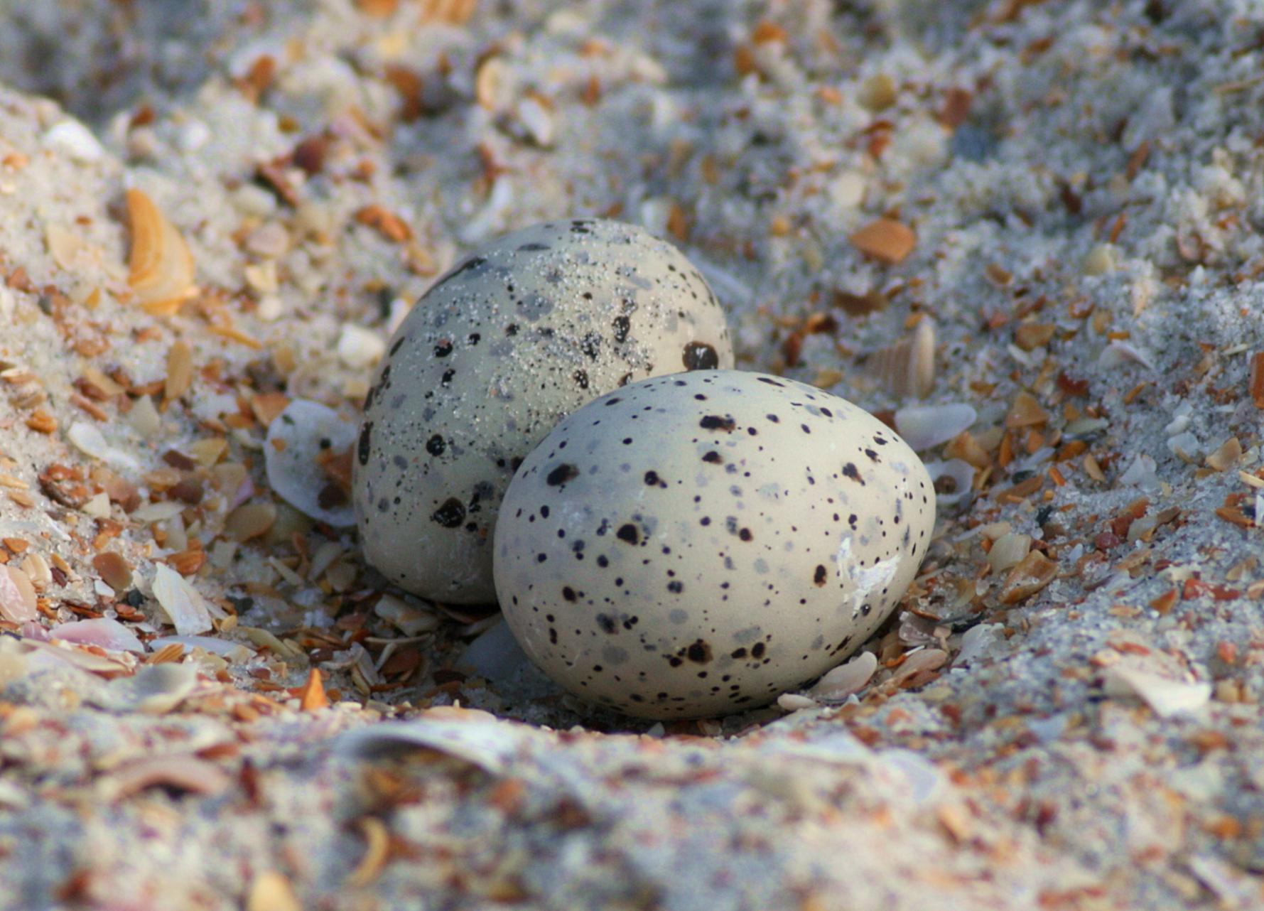 least-tern-eggs_7023839339_o.jpg