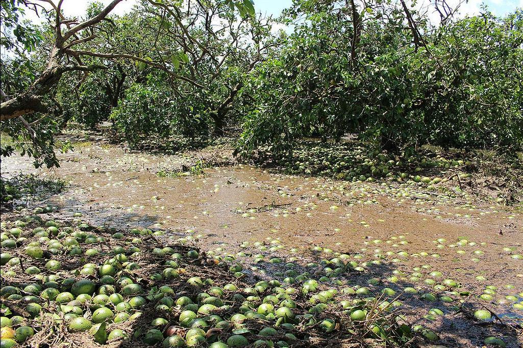 De-Soto-Co-Citrus-after-Hurricane-Irma-FL-Farm-Bureau.png