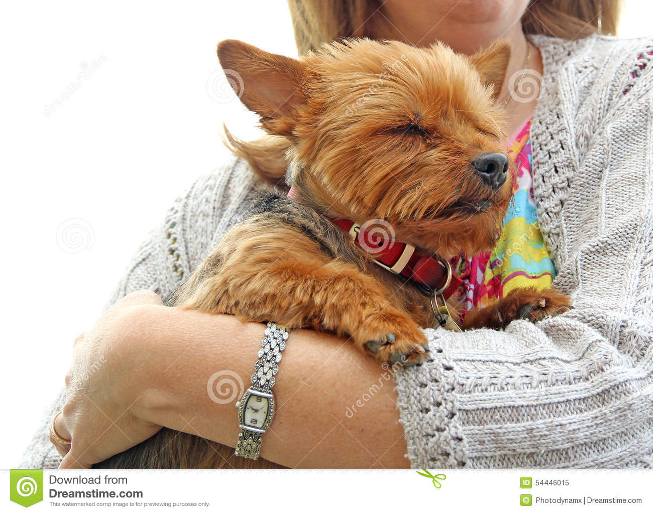 puppy-protection-photo-yorkshire-terrier-feeling-safe-protected-arms-owner-photo-taken-nd-may-54446015