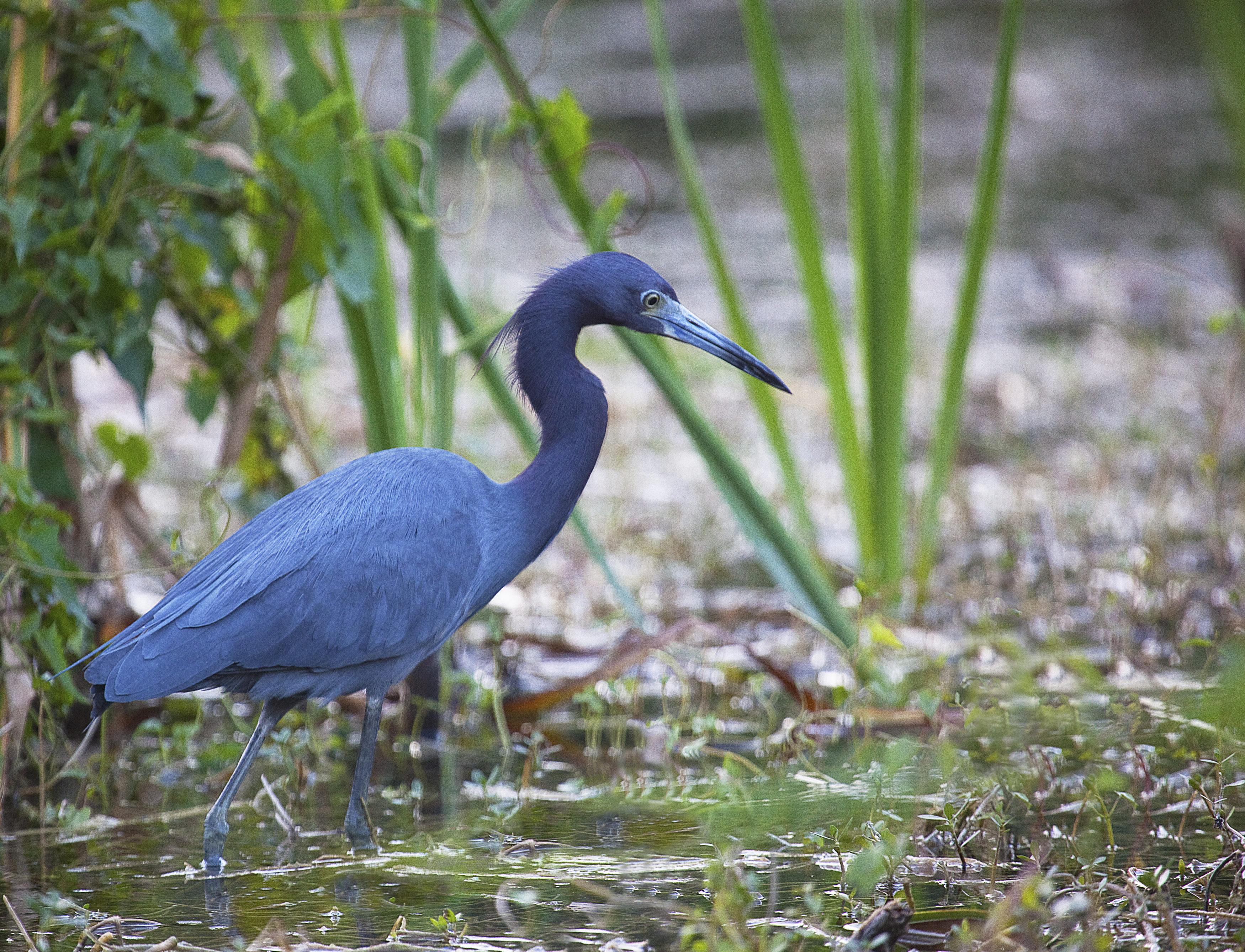 Everglades_Little_Blue_Heron-3500x2676.jpg