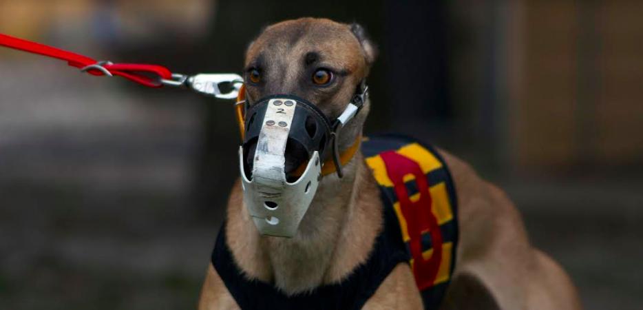 Lone greyhound ready to race-Van Abernethy