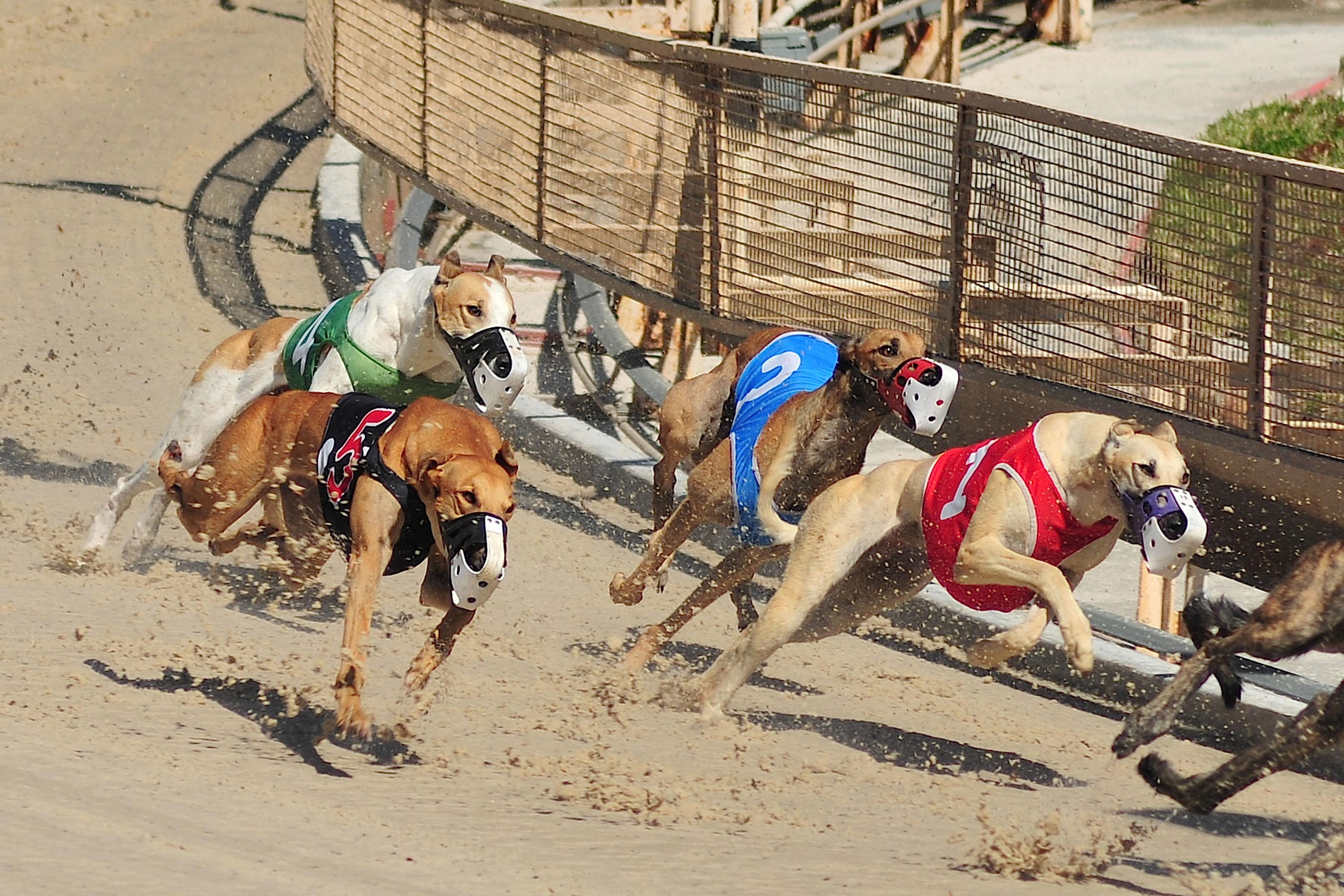 Judge S Ruling Eviscerates State S Greyhound Drug Testing System