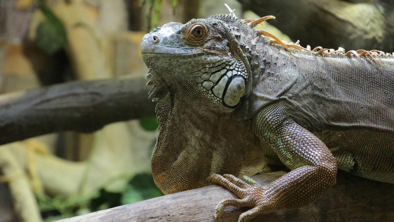iguana Alexandru Panoiu Wikimedia Commons_1515116637940.jpg_9889211_ver1.0_1280_720