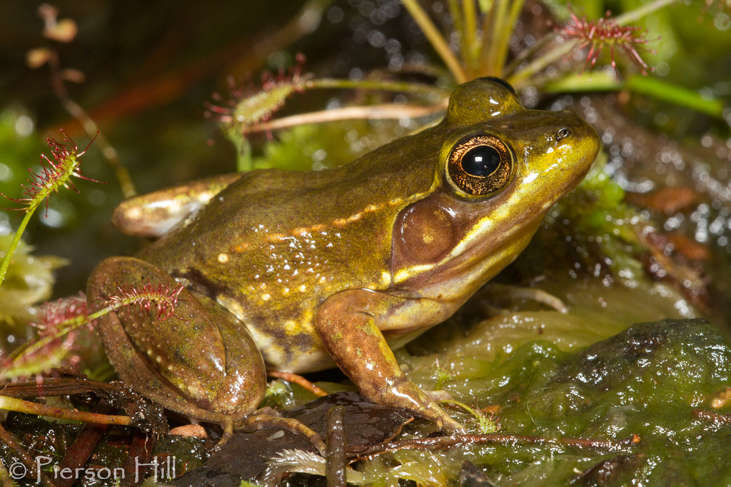 Florida-bog-frog.jpg