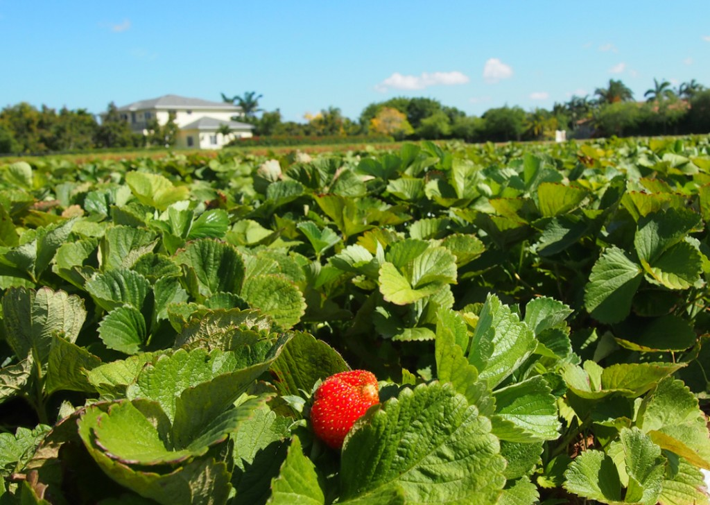 strawberry-field-homestead-1024x728