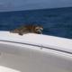 Raccoon Thomas Cope