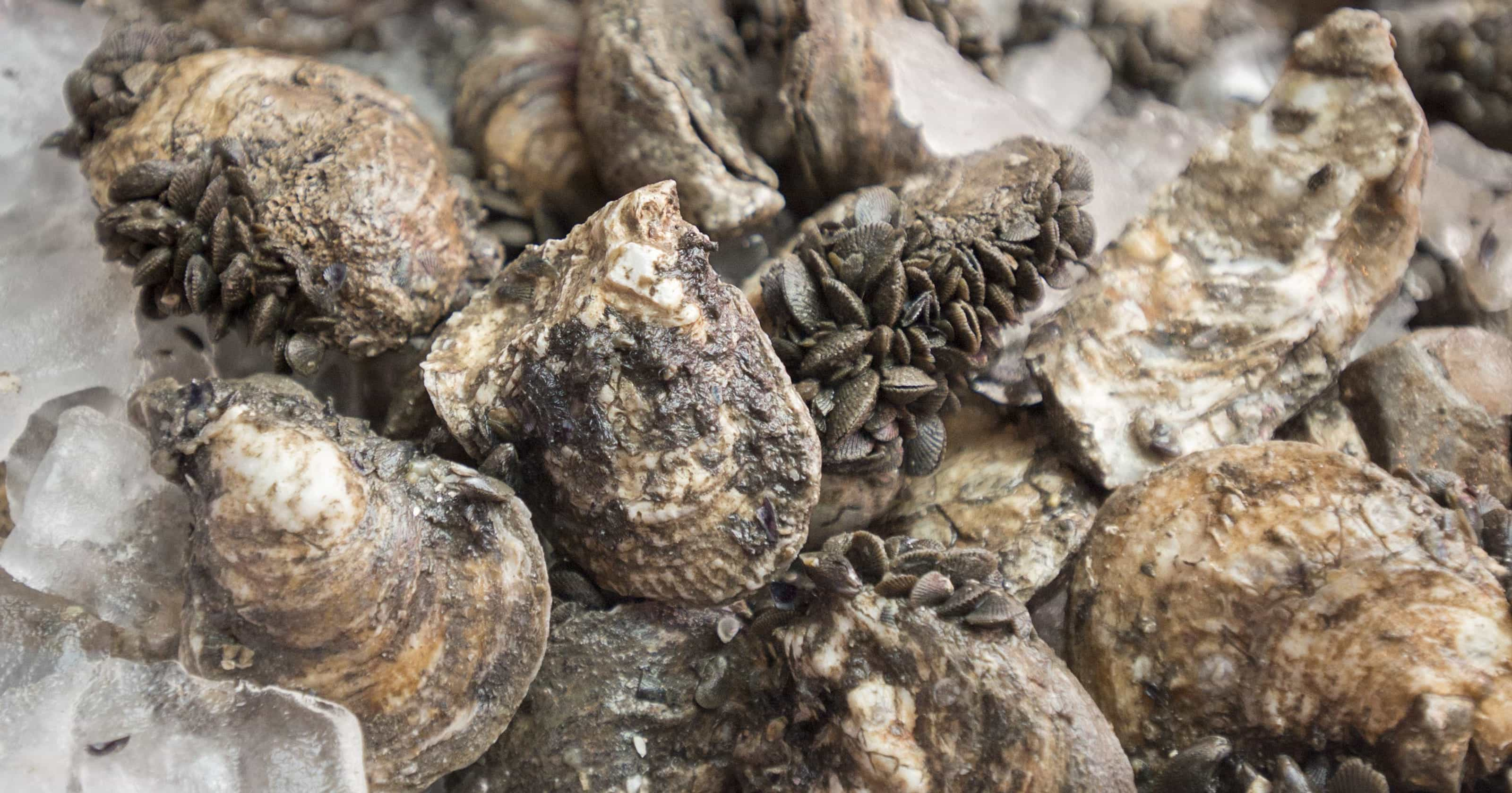 636443740059118324-Oyster-shell-recycling-005.jpg