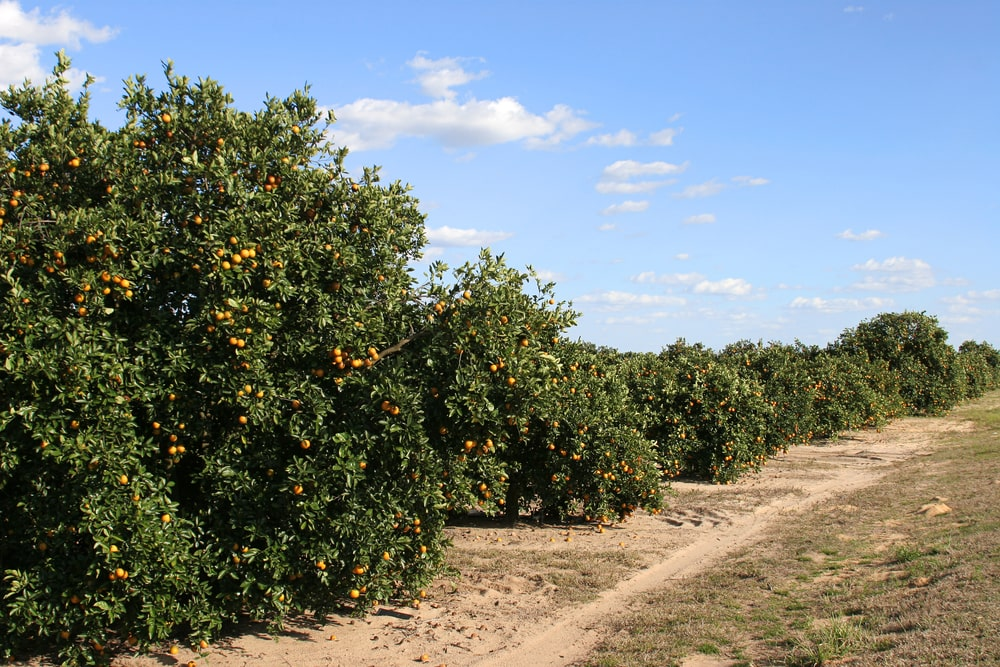 Florida-Orange-Crop-1.jpg