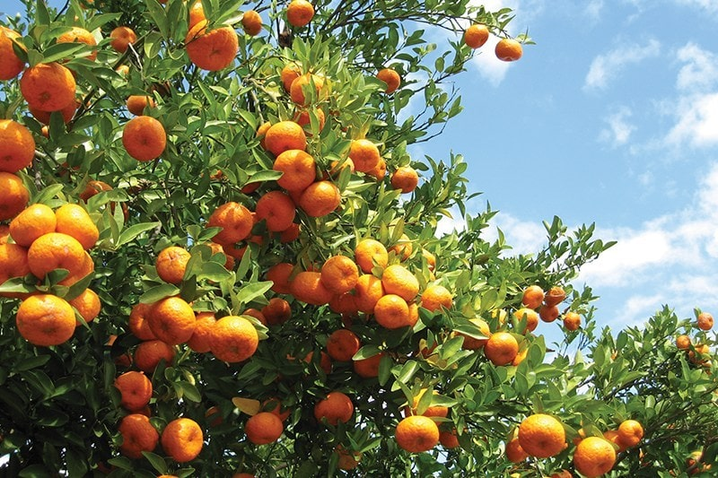 Southern-Gardens-Citrus-800x533.jpg