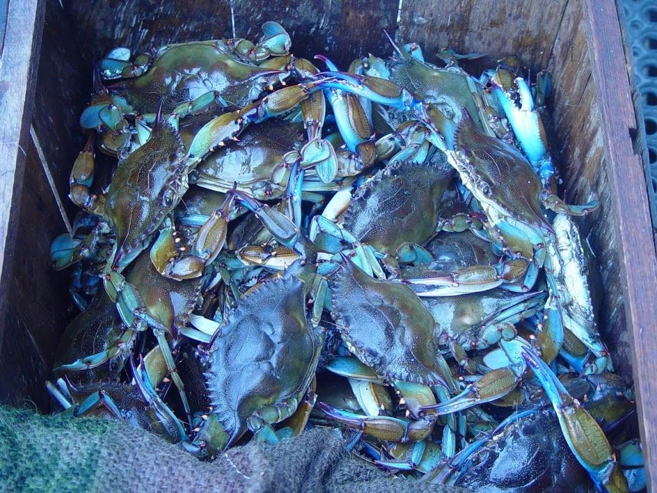 Florida blue crabs