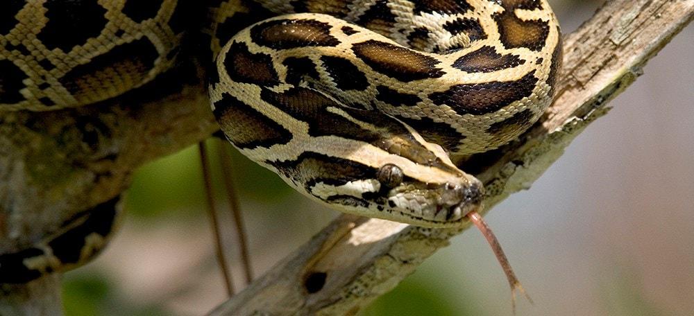 Python-Banner-NPSPhoto-R.jpg