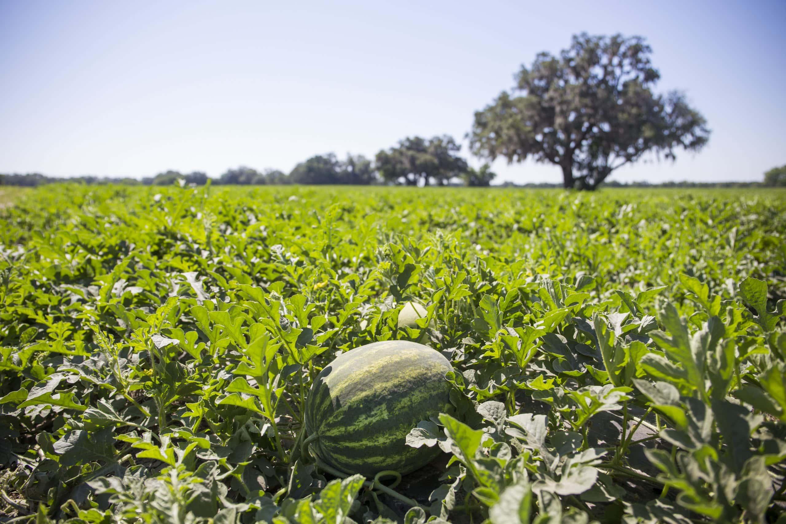 watermelon-in-field-UF-IFAS-scaled-1.jpg