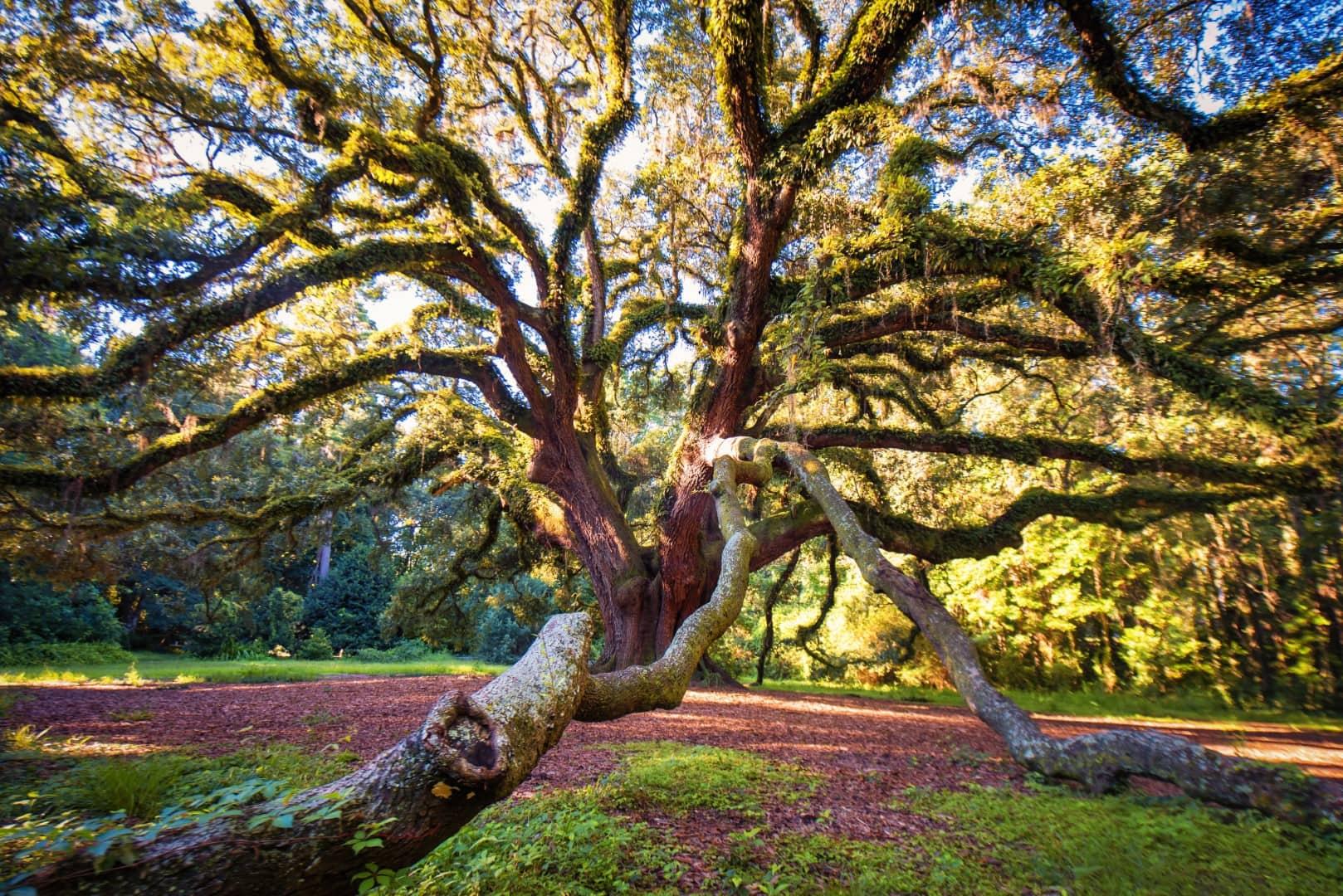 Lichgate Tree Tallahassee Florida