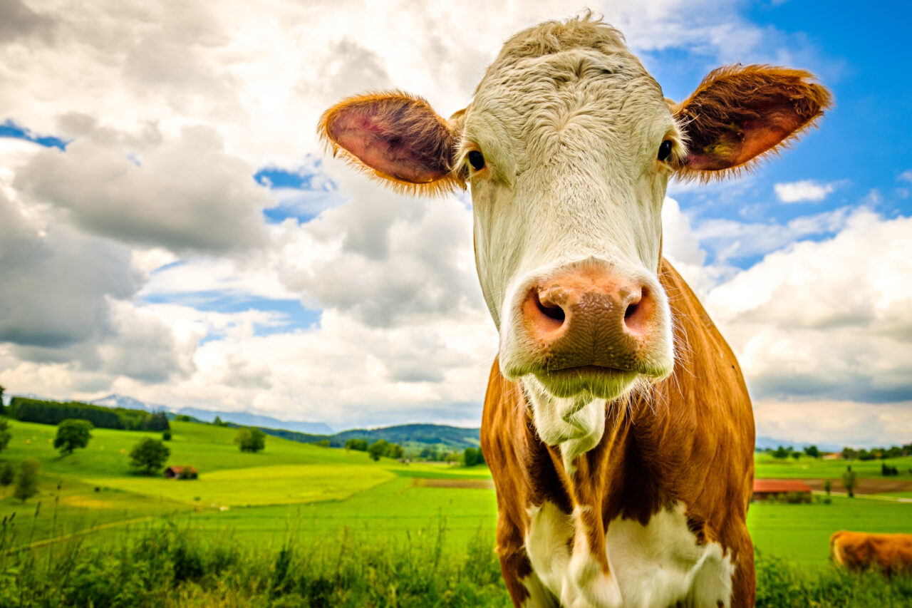 cows-1280x853.jpeg