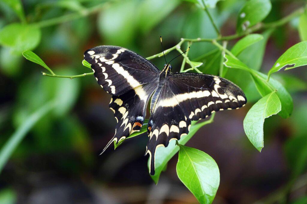 Schaus-swallowtail-butterfly-via-UF-lab-1024x683