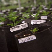 Plagued by delays, Fla. Health Department awards licenses to grow medical pot